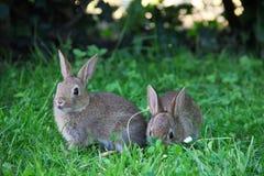 Conejos del bebé en hierba Imágenes de archivo libres de regalías