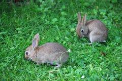 Conejos del bebé en hierba Imagenes de archivo