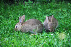 Conejos del bebé en hierba Imagen de archivo libre de regalías