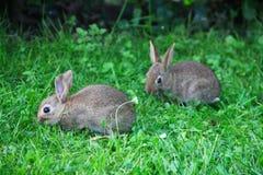 Conejos del bebé en hierba Fotografía de archivo