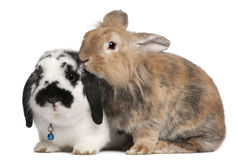 Conejos del pastor de Lapponian, 3 años Fotografía de archivo libre de regalías