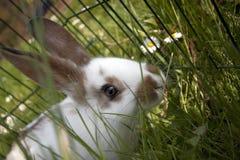 Conejos domésticos jovenes Foto de archivo libre de regalías