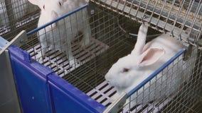 Conejos en la granja en jaula metrajes