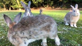 Conejos en la isla de Okunoshima, Japón metrajes