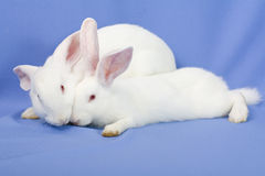 Conejos en un fondo azul Imagen de archivo