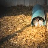 Conejos en un tubo Fotografía de archivo