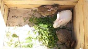 Conejos en una caja que comen la hierba metrajes