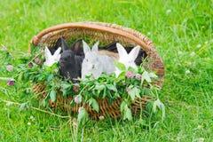 Conejos en una cesta Fotos de archivo libres de regalías
