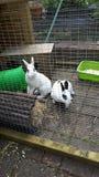 Conejos enanos felices foto de archivo