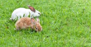 Conejos encantadores en la yarda de Tailandia Foto de archivo