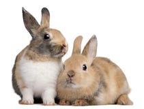 Conejos europeos, cuniculus del Oryctolagus, sentándose Imagen de archivo