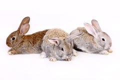 Conejos jovenes Foto de archivo libre de regalías