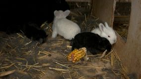 Conejos jovenes de alimentación en la granja metrajes
