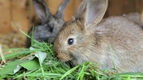 Conejos jovenes que comen la hierba adentro de un aparador metrajes