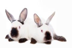 Conejos lindos Fotografía de archivo libre de regalías