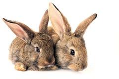 Conejos lindos aislados Imagen de archivo libre de regalías