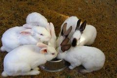 Conejos nacionales blancos y negros Imágenes de archivo libres de regalías