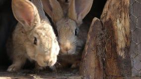 Conejos nacionales en una jaula Los conejos grises de la familia comen la hierba, las hojas y maíz Bunny Sniffing Cultivo naciona metrajes