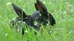 Conejos negros que comen la hierba en el prado cerca de tocón almacen de video