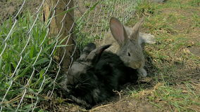 Conejos negros y grises jovenes que se sientan junto metrajes