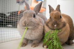 Conejos que cenan por completo Imagen de archivo