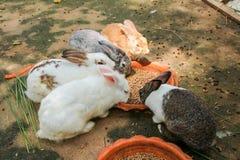 Conejos que comen la comida de conejo Foto de archivo libre de regalías