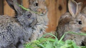 Conejos que se sientan en jaula y que comen la hierba fresca metrajes