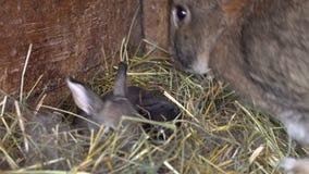 Conejos recién nacidos en la jerarquía almacen de metraje de vídeo