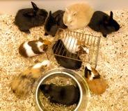 Conejos y conejillos de Indias Imagen de archivo libre de regalías