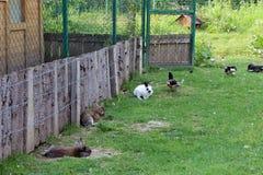 Conejos y gansos que cohabitan fotos de archivo