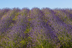 Conero (Ancona) - Field of lavender Royalty Free Stock Image
