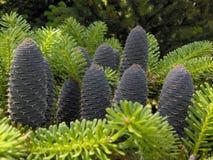 cones Imagens de Stock Royalty Free