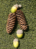 Cones and acorns Royalty Free Stock Image