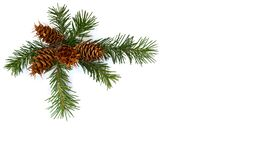 Free Cones And Twigs Pine Tree Pseudotsuga Menziesii, Douglas Fir, Douglas-fir, Douglas Tree, Oregon Pine On A White Background Stock Photography - 195578962