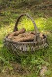 Cones in basket. Wicker basket full of cones stock images