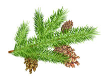 Cones on branch Stock Images