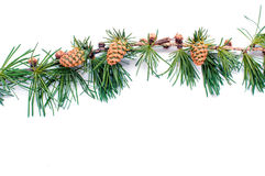 Cones on branch of conifer tree isolated  white background Royalty Free Stock Images
