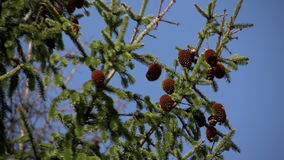 Cones on the branch of fir stock footage