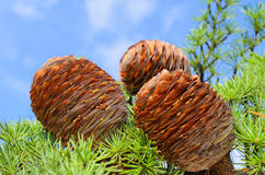 Cones on the branch of pine Royalty Free Stock Images