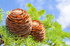 Cones on the branch of pine Royalty Free Stock Photo