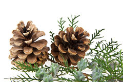 Cones and the branch of a tree Royalty Free Stock Photo