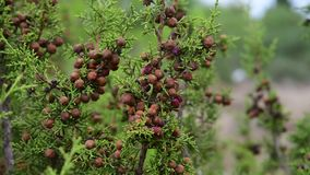 Cones on branches of cypress on the island of Cyprus. Cones on the branches of cypress on the island of Cyprus stock video footage