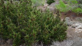 Cones on branches of cypress on the island of Cyprus stock footage