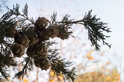 Cones on the branches of a cypress tree in Nabran Azerbaijan. Selective focus. Winter time. Cones on the branches of a cypress tree in Nabran Azerbaijan Stock Images