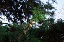Cones on the branches of a cypress tree in Nabran Azerbaijan. Selective focus. Winter time. Cones on the branches of a cypress tree in Nabran Azerbaijan Royalty Free Stock Images