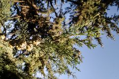 Cones on the branches of a cypress tree in Nabran Azerbaijan. Selective focus. Winter time. Cones on the branches of a cypress tree in Nabran Azerbaijan Royalty Free Stock Image