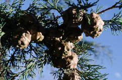 Cones on the branches of a cypress tree in Nabran Azerbaijan. Selective focus. Winter time. Cones on the branches of a cypress tree in Nabran Azerbaijan Stock Photography