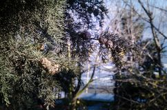 Cones on the branches of a cypress tree in Nabran Azerbaijan. Selective focus. Winter time. Cones on the branches of a cypress tree in Nabran Azerbaijan Stock Photo