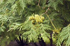 Cones on branches of thuja. Green branches of thuja with cones, close-up Stock Photo