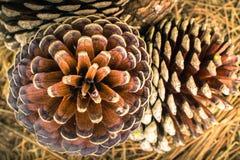 Cones caídos do pinho Imagens de Stock